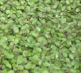 Photo of Creeping Wire Vine (Muehlenbeckia axillaris) uploaded by vic