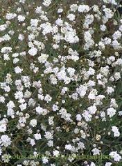 Photo of Baby's Breath (Gypsophila 'Perfecta') uploaded by vic