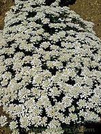 Photo of Evergreen Candytuft (Iberis sempervirens 'Schneeflocke') uploaded by vic