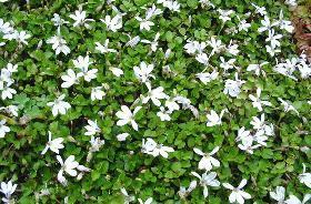 Photo of Pratia (Lobelia angulata) uploaded by vic