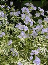 Photo of Variegated Jacob's Ladder (Polemonium reptans 'Stairway to Heaven') uploaded by vic