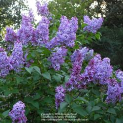 Transplanting an old lilac bush (now six feet tall