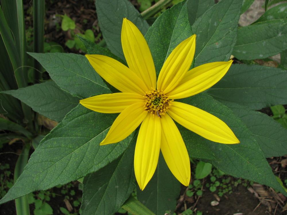 Photo of Sunroots (Helianthus tuberosus) uploaded by Lilydaydreamer