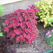 Location: My Cincinnati, Ohio gardenDate: July 2011Coleus