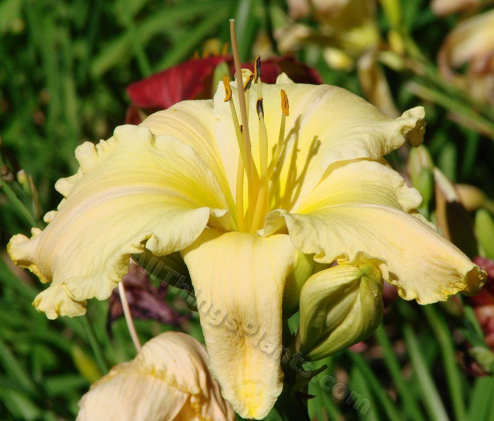 Photo of Daylily (Hemerocallis 'Banana Cream Beauty') uploaded by Joy