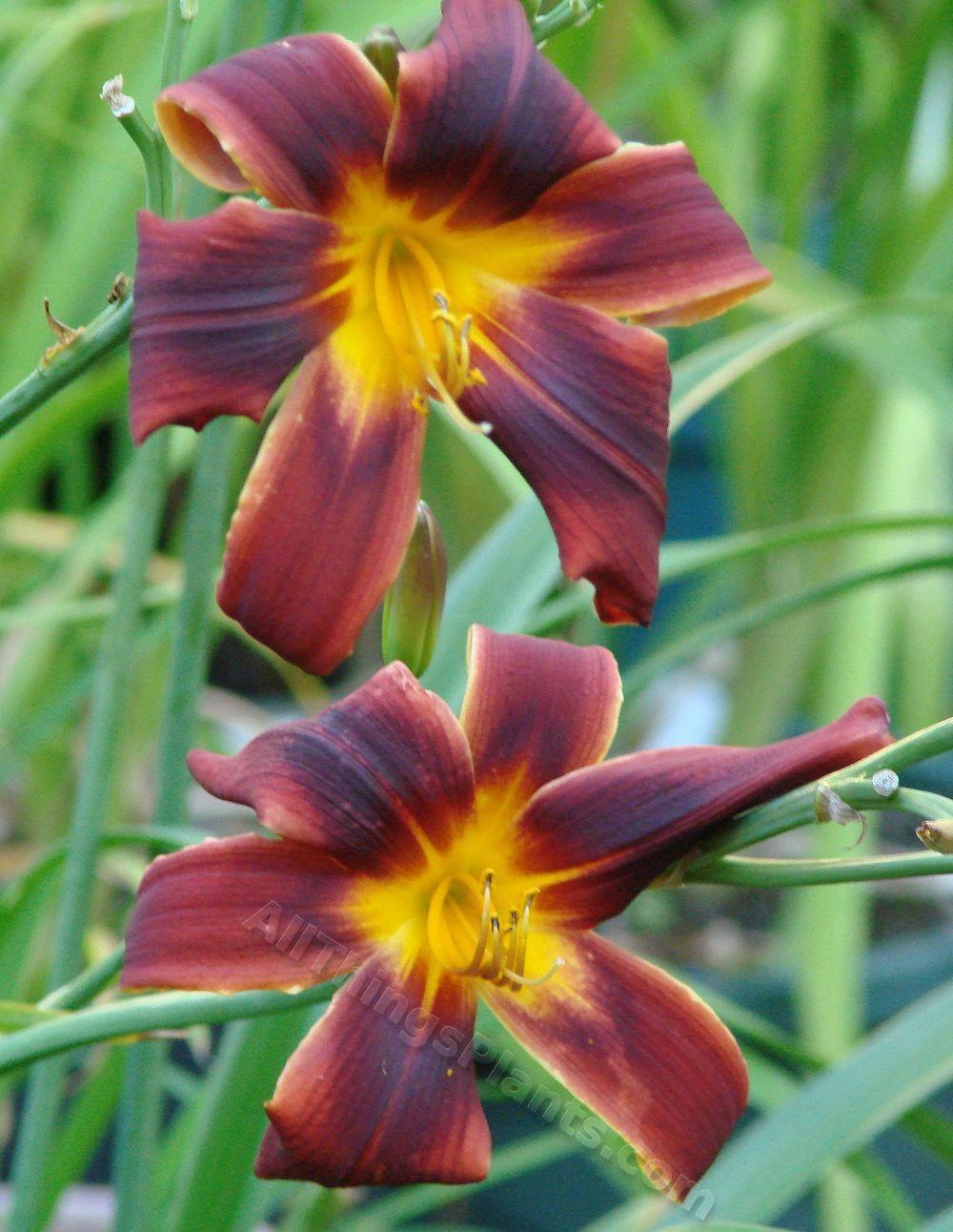 Photo of Daylily (Hemerocallis 'Party Array') uploaded by Joy