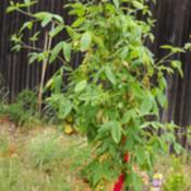 Location: Denver CO MetroDate: Spring 2009Golden Chain Sapling.. about 2 years old.  Just planted.