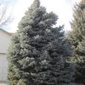 Location: Denver CO MetroDate: 2012-01-27Colorado Blue Spruce about 30 years old in my neighborh