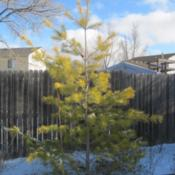 Location: Denver CO MetroDate: 2012-01-27My hillside gold tree.  You can't see the pretty yellow