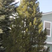 Location: Denver CO MetroDate: 2012-01-2730 year old pinon in my neighborhood.