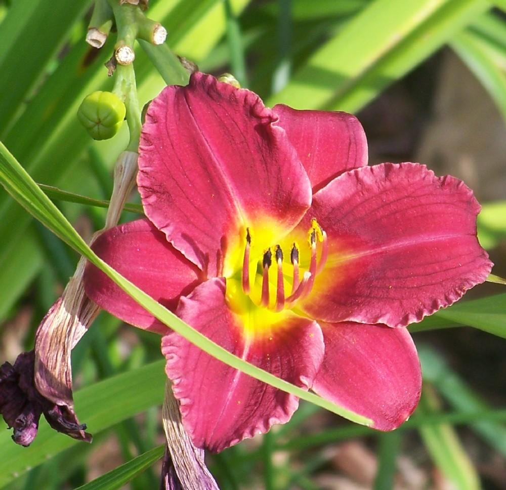 Photo of Daylily (Hemerocallis 'Aztec Red') uploaded by Skiekitty