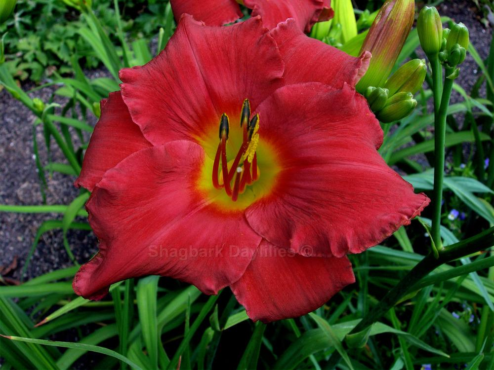 Photo of Daylily (Hemerocallis 'Ascension by Fire') uploaded by daylily