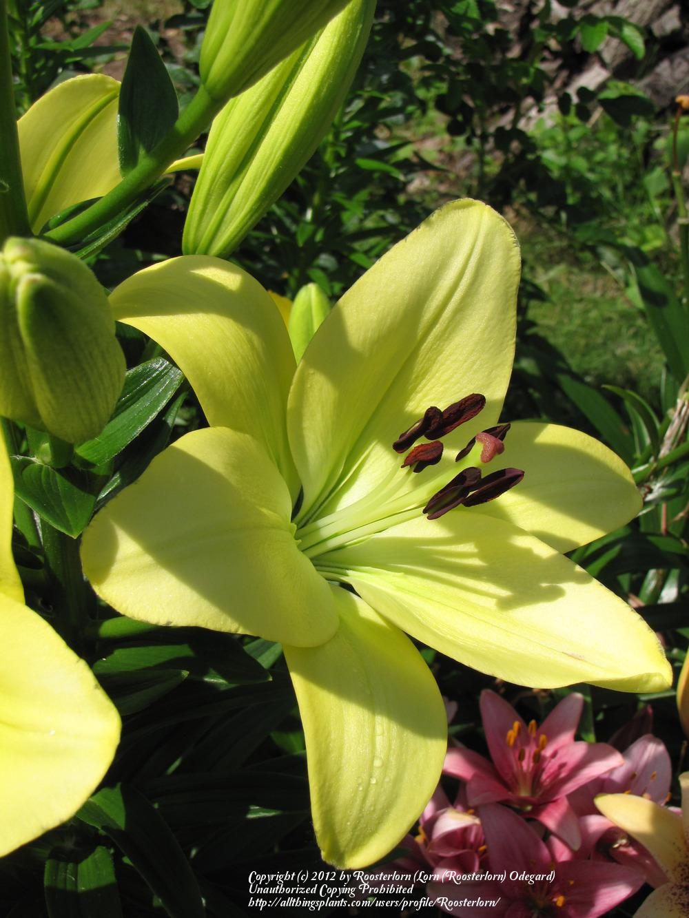 Photo of Lily (Lilium 'Courier') uploaded by Roosterlorn