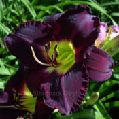 Location: Shagbark Daylilies, central Ohio, zone 5/6Date: July 2008 © Shagbark Daylilies
