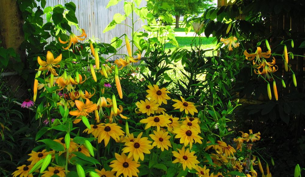 Photo of Black Eyed Susans (Rudbeckia) uploaded by jmorth