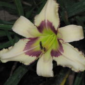 Location: Daylily bed, our home, DeLand, FLDate: 2009-05-25