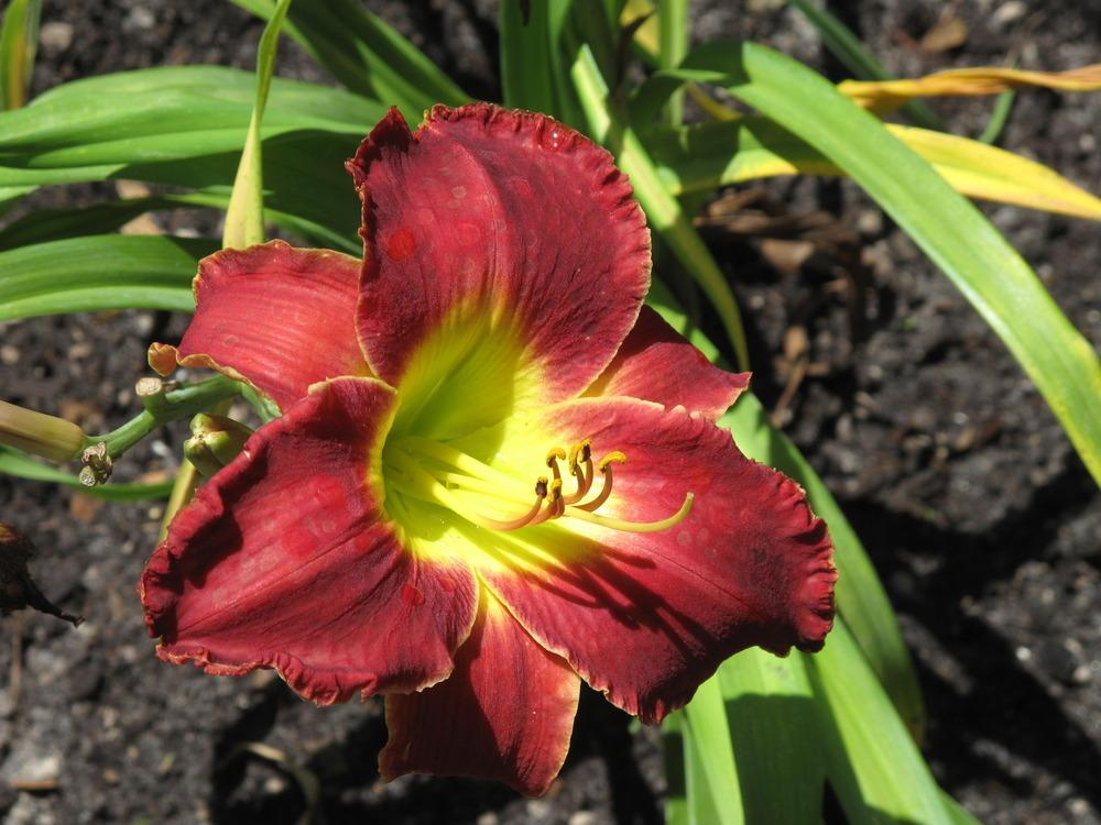 Photo of Daylily (Hemerocallis 'Out Back Red') uploaded by rocklady
