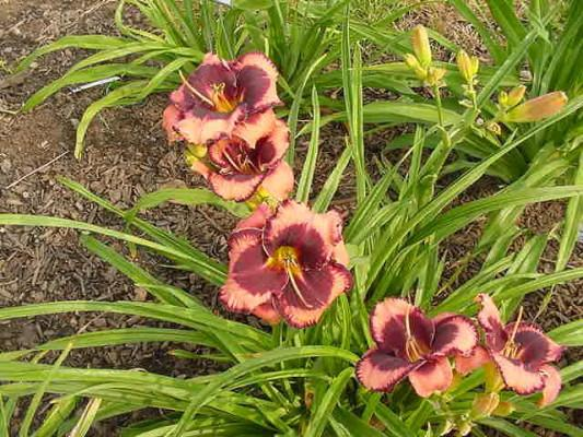 Photo of Daylily (Hemerocallis 'Eyes on the Prize') uploaded by vic