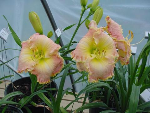 Photo of Daylily (Hemerocallis 'Chartered Course') uploaded by vic