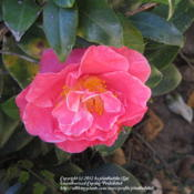 Location: Daytona Beach, FloridaDate: 2012-01-30 Unknown Camellia sasanqua growing in my new yard