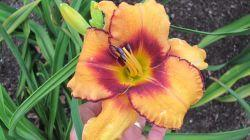 Photo of Daylily (Hemerocallis 'All American Tiger') uploaded by vic