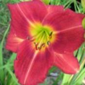 Photo Courtesy of Ellies Daylilies Used with Permiss