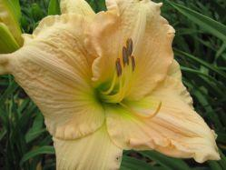 Photo of Daylily (Hemerocallis 'Beethoven') uploaded by vic