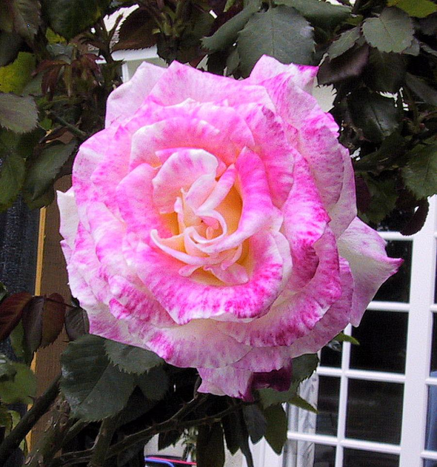 Photo of Rose (Rosa 'Double Delight') uploaded by Strever
