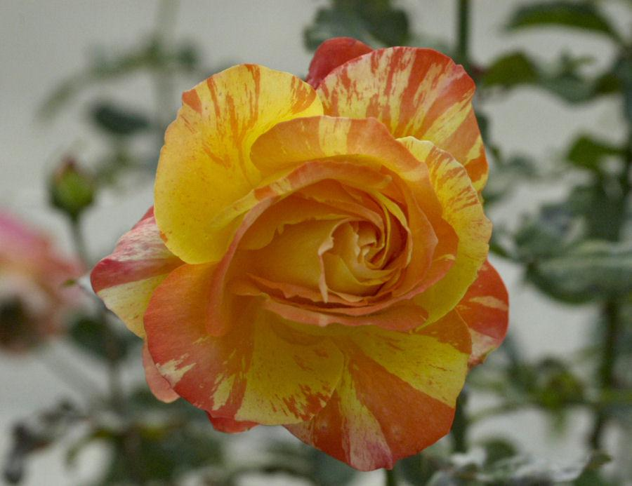 Photo of Rose (Rosa 'Tropical Sunset') uploaded by Strever