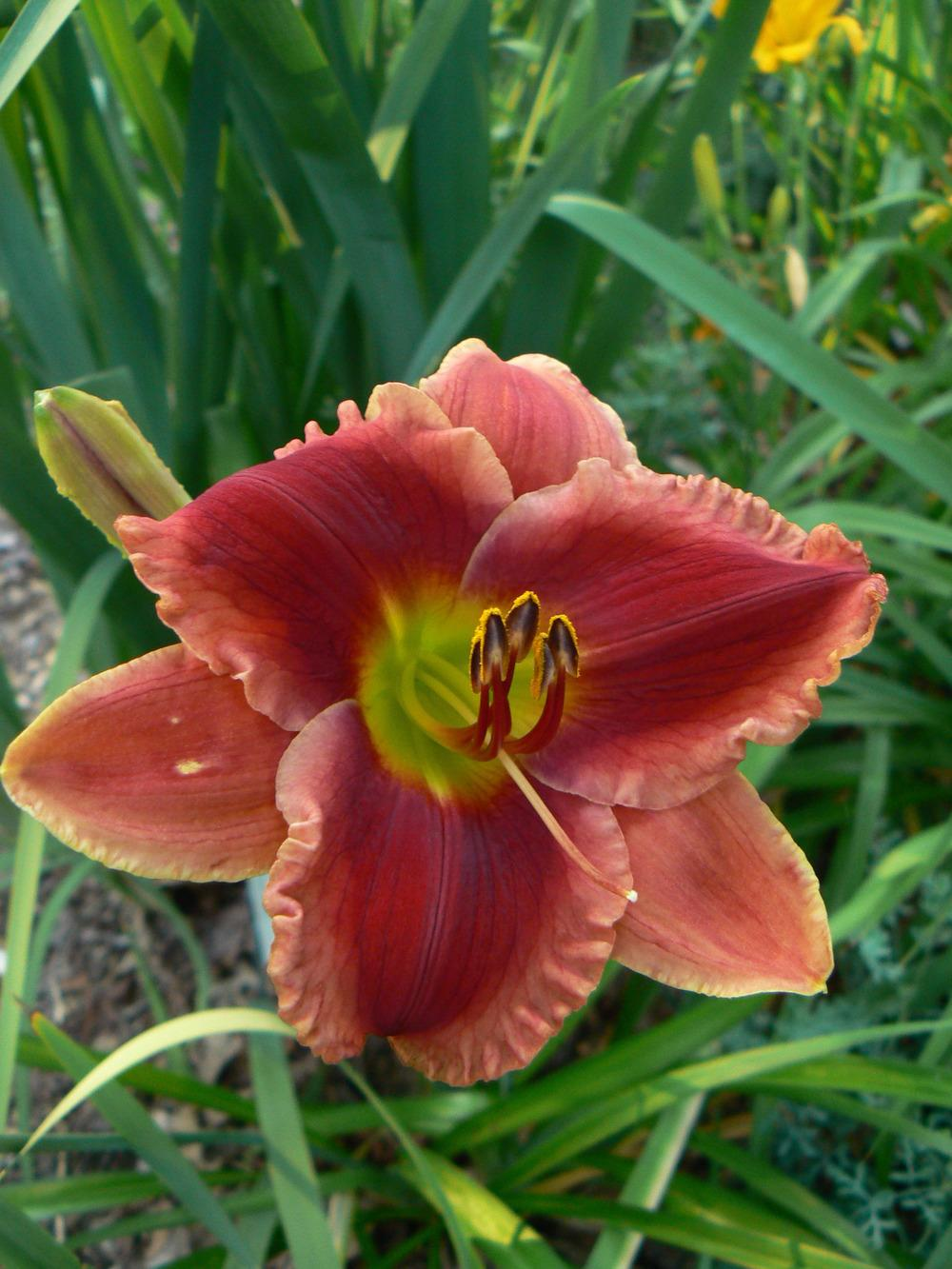 Photo of Daylily (Hemerocallis 'Grandma's Boy') uploaded by annred97