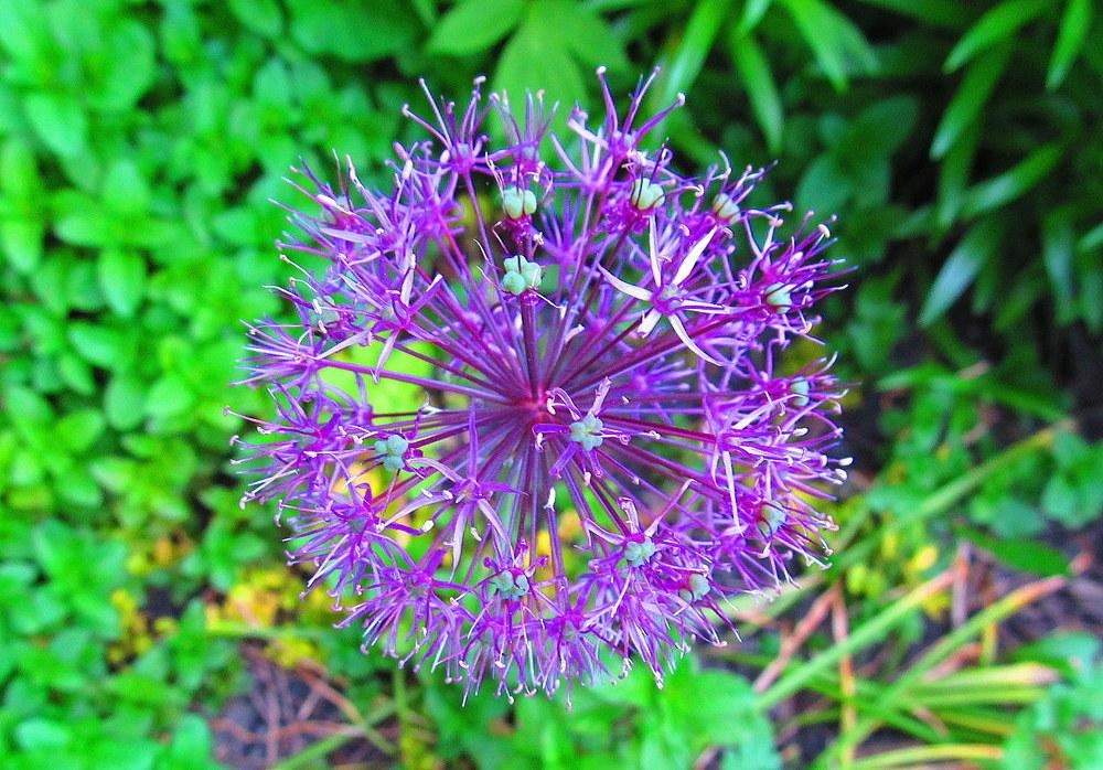 Photo of Allium uploaded by jmorth