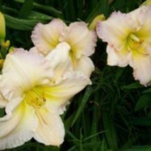 Photo Courtesy of Ellies Daylilies Used with Permission