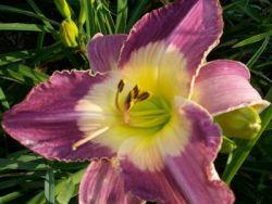 Photo of Daylily (Hemerocallis 'Malaysian Monarch') uploaded by vic