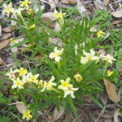 Location: Medina Co., TexasDate: March 2007Puccoon