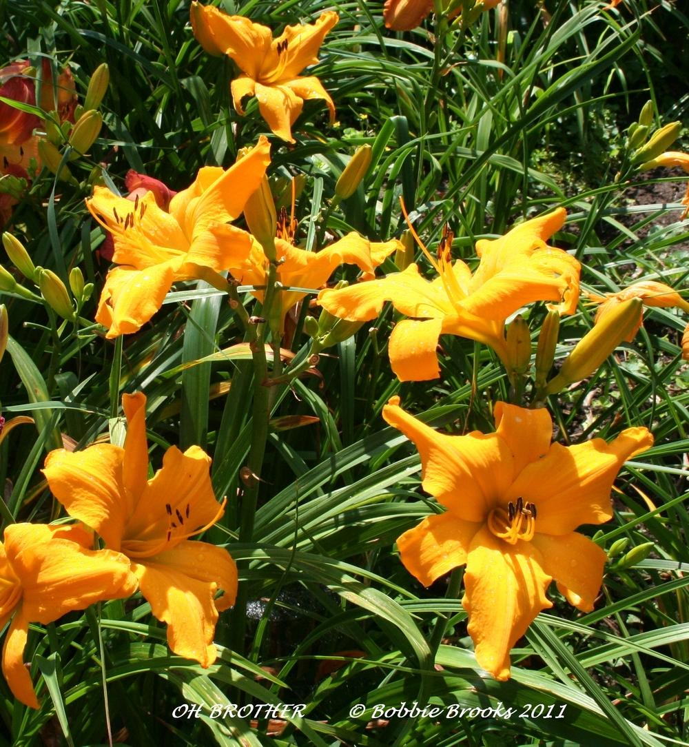 Photo of Daylily (Hemerocallis 'Oh Brother') uploaded by lilylady