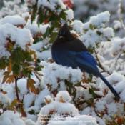 Location: My zone 3a gardenDate: 2010-10-15Steller's Jay in my Toba Hawthorn after an early fall s