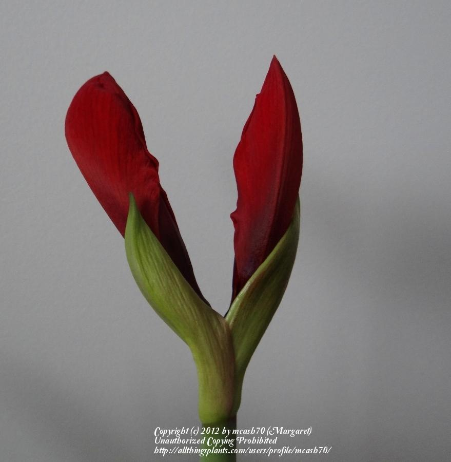 Photo of Amaryllis (Hippeastrum 'Red Lion') uploaded by mcash70