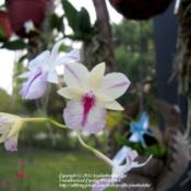 Location: Daytona Beach, FloridaDate: 2011-07-02 B. sanguinea Splash Petal Form