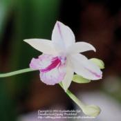 Location: Daytona Beach, FloridaDate: 2011-06-26 Broughtonia sanguinea Splash Petal form