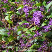 Location: Central Valley area - CaliforniaDate: 2012-01-31Lovely lilac vine on our community fence