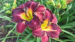 Photo of Daylily (Hemerocallis 'Playing with Sharks') uploaded by vic