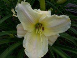 Photo of Daylily (Hemerocallis 'White Tie Affair') uploaded by vic