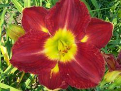 Photo of Daylily (Hemerocallis 'Passion for Red') uploaded by vic