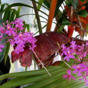 Location: Orlando, Central Florida, zone 9bDate: 2012-02-02Epidendrum radicans purple