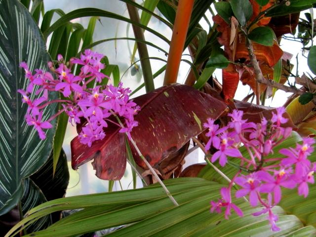 Photo of Crucifix Orchid (Epidendrum radicans) uploaded by GoneTropical
