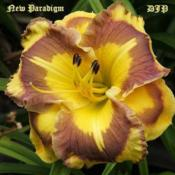 "Location: Fort Worth TXDate: 2012-02-02Daylily ""New Paradigm\"""