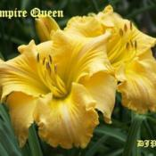 "Location: Fort Worth TXDate: 2009-06-12Daylily ""Empire Queen\"""
