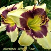 "Location: Fort Worth TXDate: 2008-06-11Daylily ""Desperado Love\"""