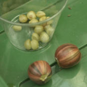Location: So.CalifDate: 2002variegated seed pods and seed