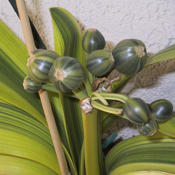Location: So.CalifDate: 2007Variegated seed pod
